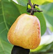 Ripe Cashew Nut Art Print