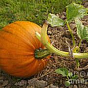 Ripe Pumpkin Art Print