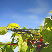 Ripening On The Vines Art Print by Steven Ainsworth