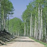 Road Through An Aspen Forest, Manti La Art Print
