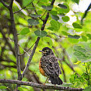 Robin In The Woods Art Print