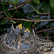Robin Nestlings Art Print by Ted Kinsman