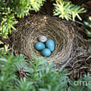 Robins Nest And Cowbird Egg Art Print