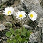 Rock-plant Daisy (bellis Margaraetifolia) Art Print