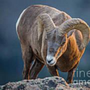 Rocky Mountain Big Horn Ram Art Print