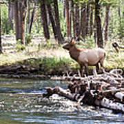 Rocky Mountain Elk Art Print by Cindy Singleton
