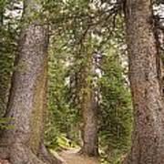 Rocky Mountain Forest Walk Art Print