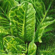 Romaine Unfurling Art Print by Steve Asbell