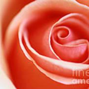 Romantic Rose Art Print