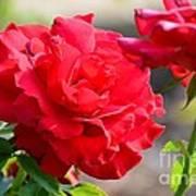 Rosas Roja Art Print