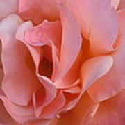 Rose 02 Art Print