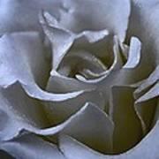 Rose 156 Art Print
