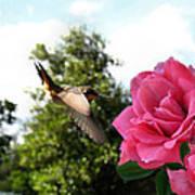 Rose And Rufous Art Print