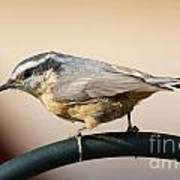 Rose Breasted Nuthatch Art Print