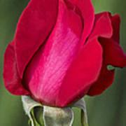 Rose Flower Series 1 Art Print