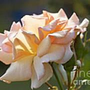 Rose Flower Series 15 Art Print