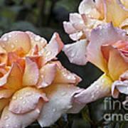 Rose Flower Series 7 Art Print