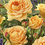 Rose Rosa Sp Golden Celebration Variety Art Print
