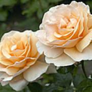 Rose Rosa Sp Just Joey Variety Flowers Art Print