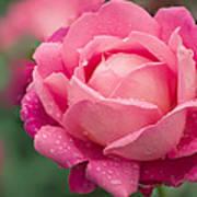 Rose (rosa 'star Of The Nile') Art Print