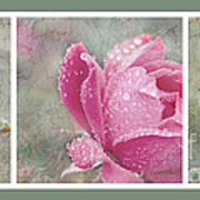Rose Triptych 11 Art Print