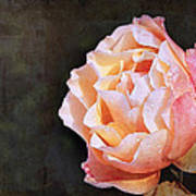 Rose With Dewdrops Art Print