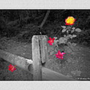 Roses And Fence Art Print