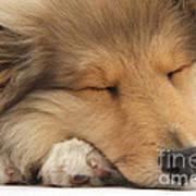 Rough Collie Pup Art Print