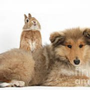 Rough Collie Pup With Sandy Netherland Art Print