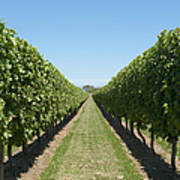 Row Of Grapevines In Vineyard Art Print by Dave & Les Jacobs
