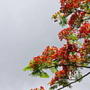 Royal Poinciana Tree Art Print
