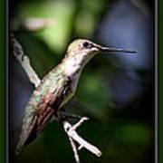 Ruby-throated Hummingbird - Just Beautiful Art Print
