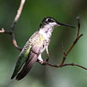 Ruby-throated Hummingbird - Hanging Low Art Print