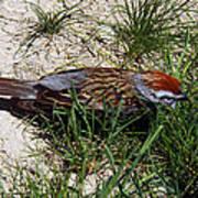 Rusty Capped Sparrow Art Print