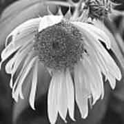 Sad Sunflower Black And White Art Print