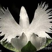 Sagi-so Or Crane Orchid Art Print