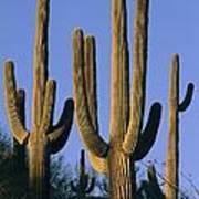 Saguaro Cacti In Desert Landscape Art Print