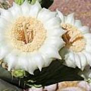 Saguaro Cactus Flowers Art Print