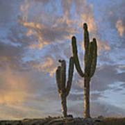 Saguaro Carnegiea Gigantea Cacti, Cabo Art Print
