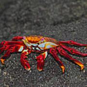 Sally Lightfoot Crab Art Print