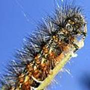 Salt Marsh Caterpillar Art Print