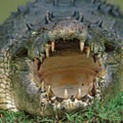 Saltwater Crocodile Crocodylus Porosus Art Print