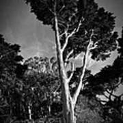 San Francisco Tree Print by Matt  Trimble