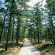 Sand Road Through The Pine Barrens, New Art Print