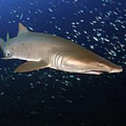 Sand Tiger Shark Off The Coast Of North Art Print