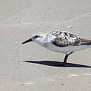 Sanderling On The Beach Art Print