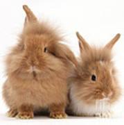 Sandy Lionhead Rabbits Art Print