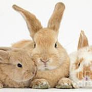 Sandy Rabbit And Babies Art Print