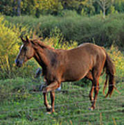 Sandy The Roan - C0058b Art Print