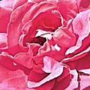 Sandys Pink Rose Frills Art Print